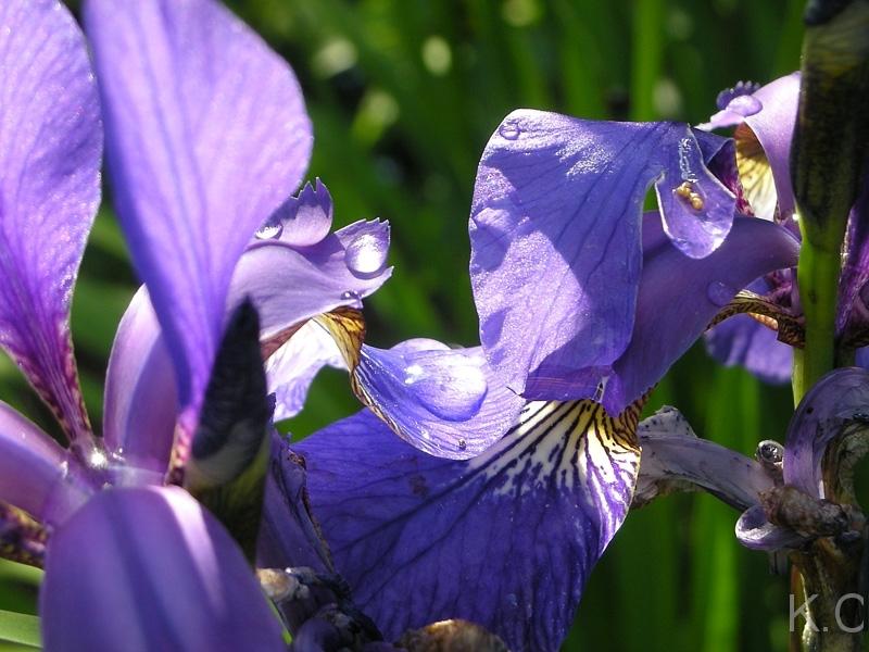 Irisnachdemregen