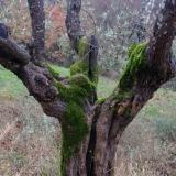 Olivenbaum 2