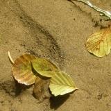 gelbeswasserblatt